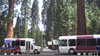 A photo of two national parks buses parked in front of Redwood trees.